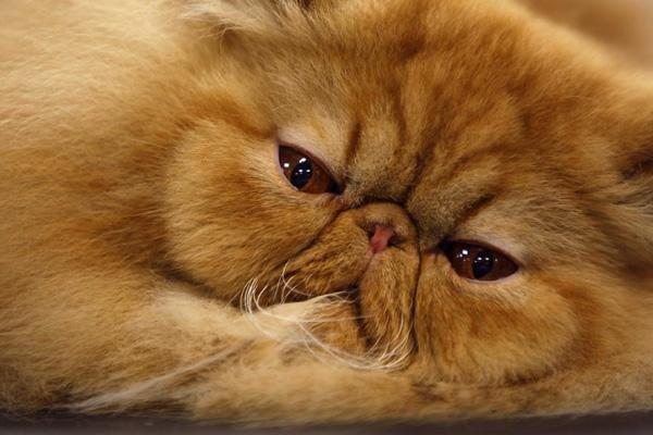 Рыжий персидский кот фото