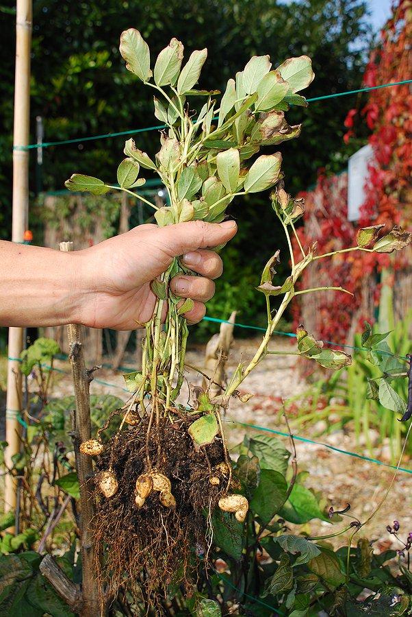 Выращивание арахиса в открытом 785