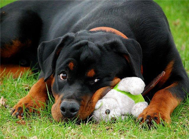 Самые агрессивные породы собак