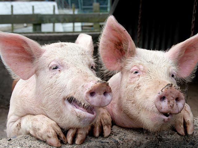 Счастливые свинки ели марихуану и пили водку с пивом