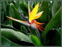 Стрелиция - красота в цветочном горшке