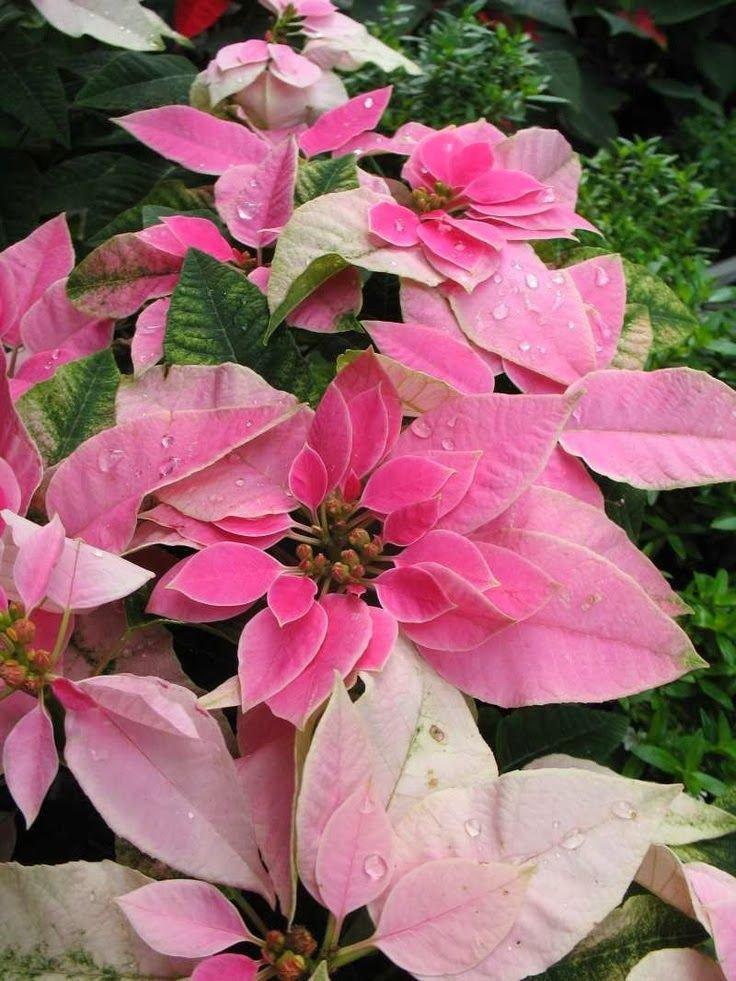 Проблемы содержания пуансетии: болезни и опадание листьев
