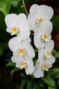 Виды орхидей: фаленопсис амабилис (приятный)