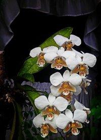 Виды орхидей: фаленопсис Шиллера