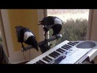 Вороны играют на пианино