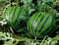 Секреты выращивания огромных арбузов