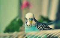 Как «разговорить» попугая