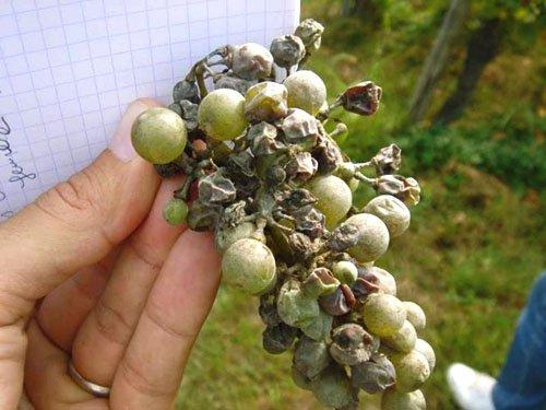 Как бороться с мучнистой росой на винограде