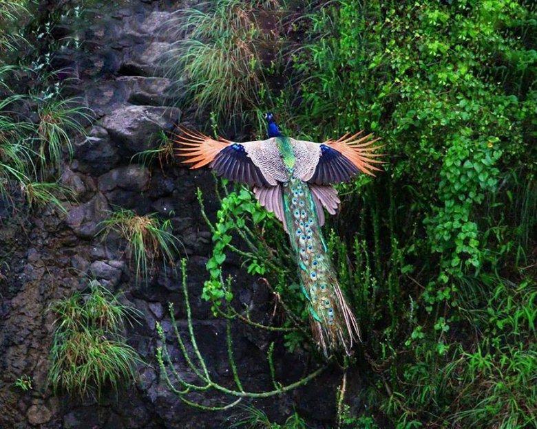 Как выглядят летающие павлины