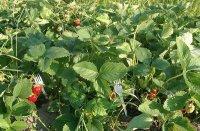 Как использовать пластмассовые вилки для выращивания земляники