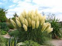 Пампасная трава: настоящее украшение сада