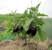 Выращиваем большой урожай баклажанов