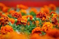 Растения, которые отпугивают вредителей