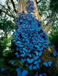 Красивые синие бабочки морфо на дереве