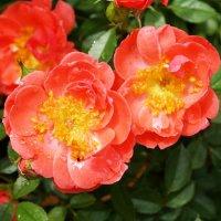 Кустовая роза Mango Salsa