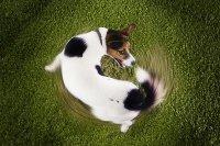 Почему собака бегает за хвостом?