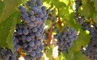 Выращивание винограда на участке