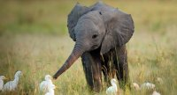 Слоны узнают себя в зеркале