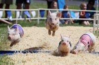 Свинья - предсказатель на ЕВРО-2012