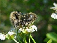Оленка мохнатая - жук-вредитель. Новое бедствие для украинских садовников