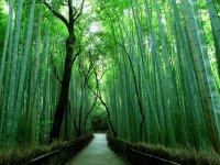 Бамбуковый лес Сагано, Киото, Япония