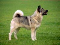 Норвежский элкхаунд - исчезающий вид собак