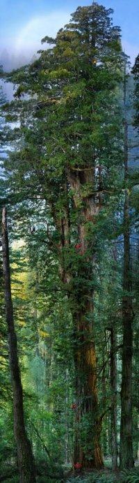Секвойядендрон – самое большое и старое дерево на нашей планете