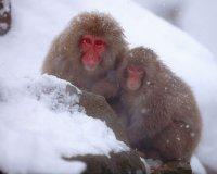 Снежные японские макаки
