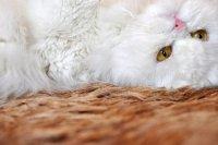 Как назвать белоснежного котенка