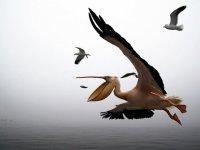 Пеликаны окупировали Махачкалу