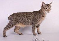 Пиксибоб - кошка, похожая на рысь
