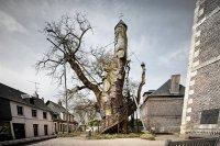 Старинный дуб в Аллувиль-Бельфос