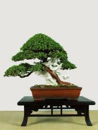 Японское искусство бонсай