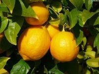 Как вырастить дома лимон?