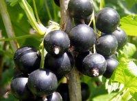 Вредители черной смородины