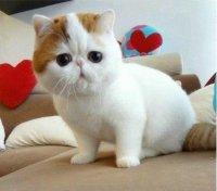 Экзотическая короткошерстная кошка (экзот)