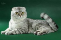 Порода кошек скоттиш фолд