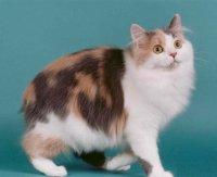 Кимрская порода кошек (кимрик)