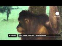 Орангутанг и ее вредные привычки