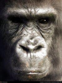 Реальная фотография или компьютерная графика: Gorilla