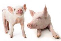 Клуб любителей свиней