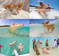 Свинки отдыхают на Багамах