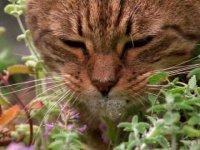 Как на котов действует кошачья мята