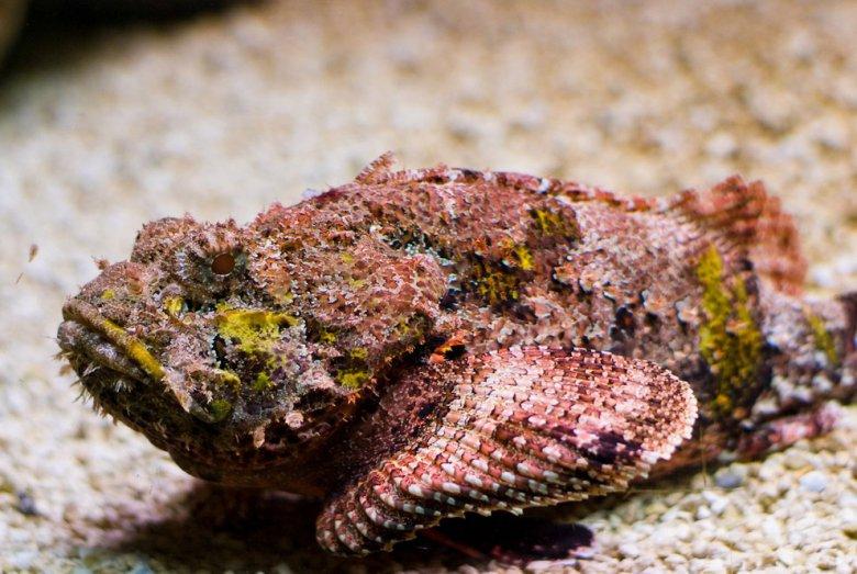 Ядовитые животные: рыба-камень
