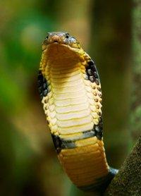 Ядовитые животные: королевская кобра