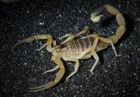 Ядовитые животные: скорпион лейурус