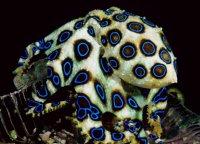 Ядовитые животные: синий кольцевидный осьминог