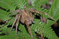 Ядовитые животные: бразильский блуждающий паук