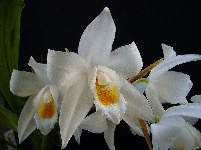 Сорта орхидей:  Coelogyne mooreana