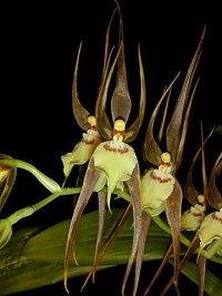 Сорта орхидей: Ada allenii